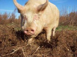 A happy pig roams a grassy area.