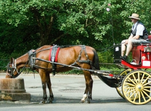 Thin carriage horse taking a much needed drink.