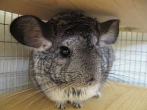 Chinchilla's are from South America. In the 19th century chinchillas became very rare due to hunting.
