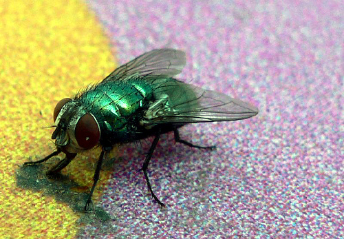 how to catch house flies with honey