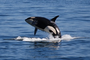 California may soon lead the way for orcas.