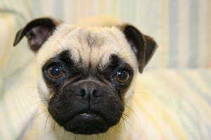 Pugs, like many other domesticated animals, have extreme looks that cause health issues. Because of their short noses, they are considered brachiocephalic and have difficulty breathing.