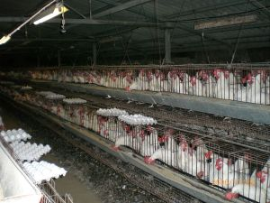 California has banned the use of confinement crates for egg-laying hens and other farm animals.