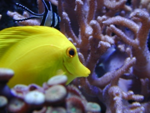 Colorful tropical fish, like this yellow tang, are often taken from Hawai'i's coral reefs.
