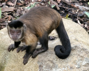 Capuchin and other monkey species are not well suited to being pets and don't belong in the entertainment industry.