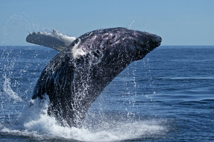 Greenland plans on killing 10 humpback whales in 2013 as well as 211 whales of other species.