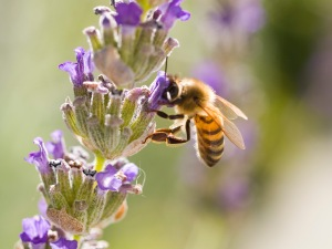Pollinating insects, such as the honeybee, are at risk from dangerous pesticides.