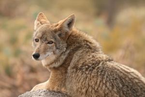 mrg_coyote