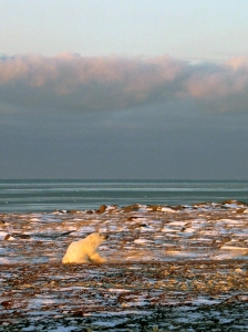 Polar bears are threatened by both climate change and hunting.