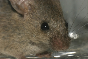 Mice, rats, and birds make up approximately 95 percent of all animals used in research.