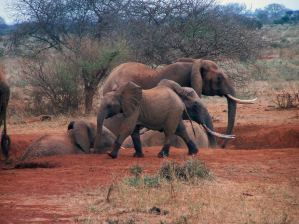 Elephants live in herds and work together to protect everyone in the family.