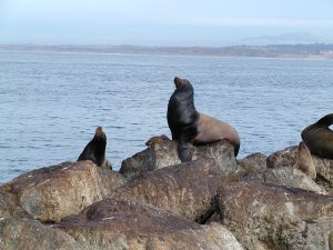 Sea lions are beautiful marine mammals that are at a great risk of being slaughtered to make seal oil and other products.