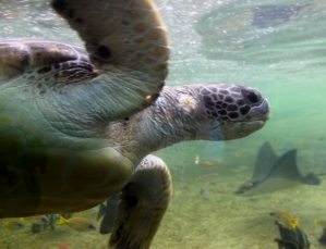 Sea turtles can migrate long distances between where they are hatched and where they feed.