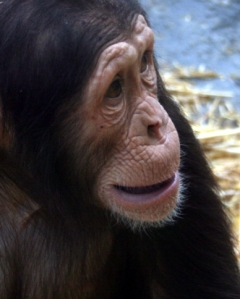 Chimpanzees used in entertainment are usually adolescents, like the one pictured. As Chimpanzees grow to adulthood, their acting days end and the chimpanzee may be sold for research or worse.