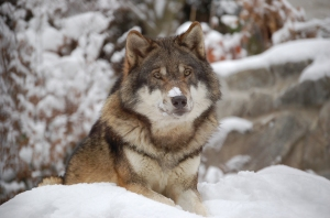 The National Park Service, Alaska Region, is taking action to protect wolves and their pups.