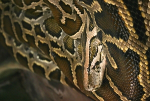 Burmese pythons are a threathened species in Southeast Asia.
