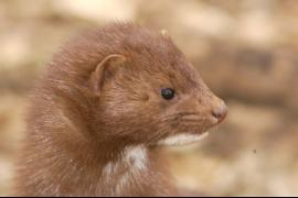 Mink fur is often used in today's fashion.
