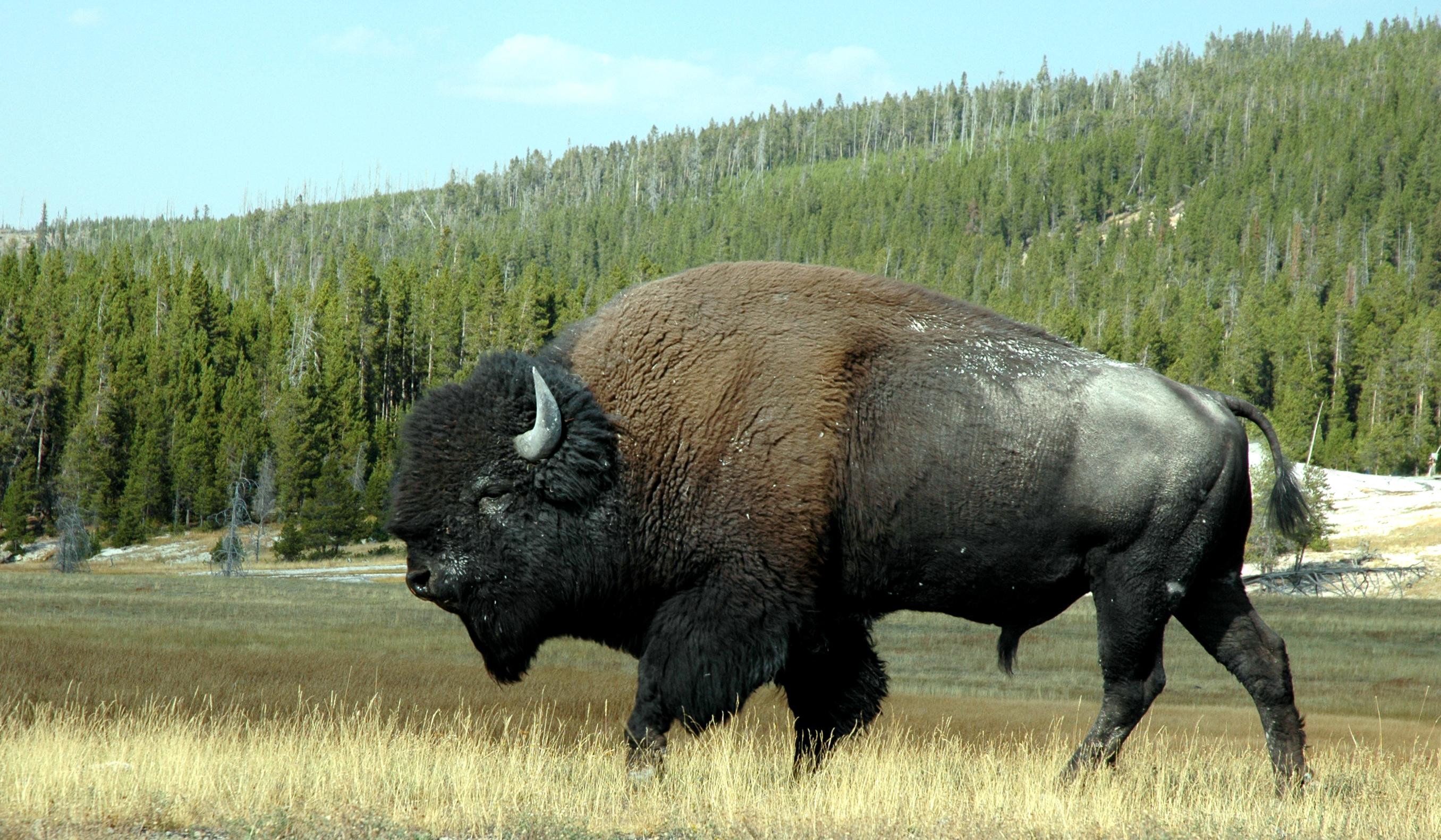 sxc-bison-2.jpg
