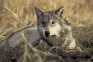 Wolves in Montana face a serious threat without your help.