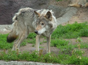 Removing wolves from the Endangered Species List would upset the ecological balance and diversity of their region.