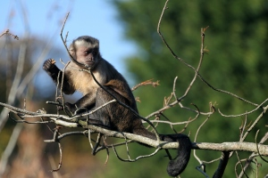 A capuchin monkey is currently featured in a Sears commercial, exploiting exotic animals for economic gain.