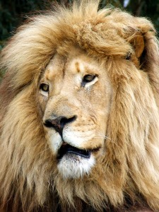 Several restaurants in the United States offer exotic meat, such as lion burgers, on their menus.