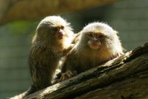 Instead of using mice for research purposes, transgenic monkeys are being created for use by scientists.