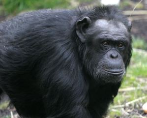 An organization is working towards giving captive chimpanzees  nonhuman rights such as bodily integrity and liberty.