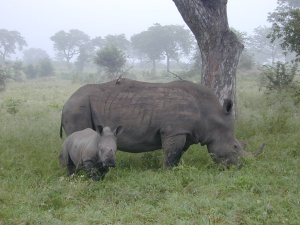 The Dallas Safari Club is planning to raise conservation funds for the black rhino population by raffling off a permit to hunt and kill a member of the species.