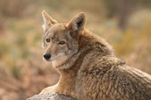 """The BLM has cancelled a permit requesting the use of their land for a """"predator derby."""""""