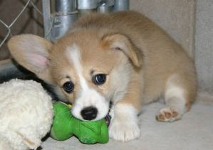The USDA now requires age limits and vaccinations for puppies imported into the United States for sale.