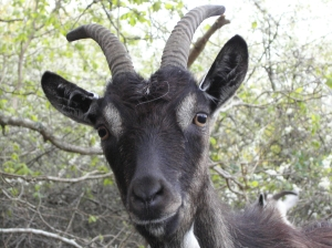 Animals like goats may be more intelligent than once thought.