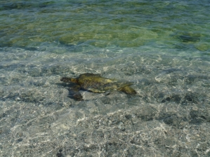 All sea turtles in American waters are classified as endangered species.