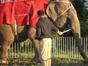 Bullhooks are commonly used by circus employees to prod, strike, or jab elephants.