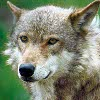 Gray wolves are once again an endangered species in Wyoming.