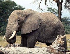 elephant (15)