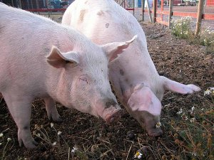 Chipotle's policy requires that farmed pigs have opportunities to access outdoor areas.