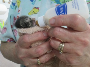 When orphaned, newborn kittens have a 50/50 chance of surviving to adulthood.