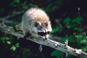 Raccoons can now be trapped for their fur throughout the entire state of Georgia.